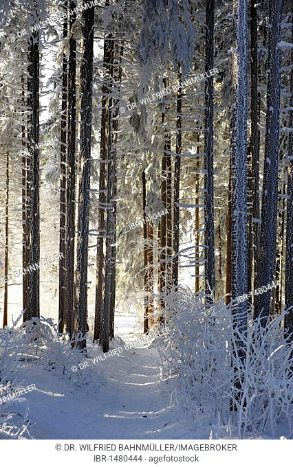 Hoar frost in the woods, Stadlberg near Miesbach, Upper Bavaria, Germany, Europe
