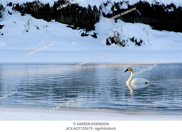 Trumpeter swan swims along the Shuswap River during winter in Enderby, British Columbia, Canada