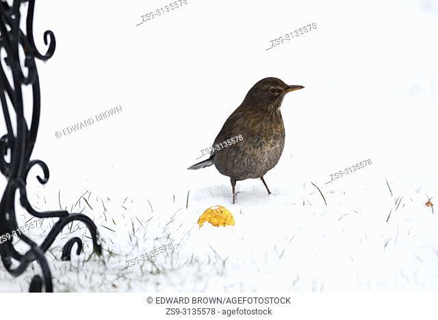 A Blackbird (Turdus merula) looks for food during a snow shower, East Sussex, UK