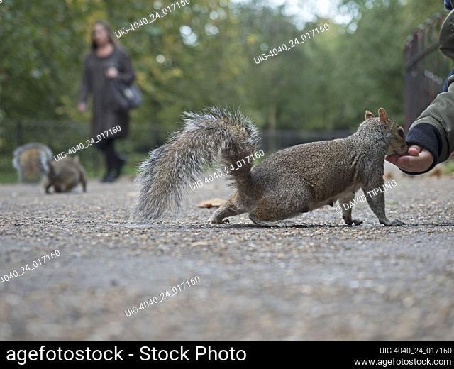 Grey Squirrel Sciurus carolinensis in London Park