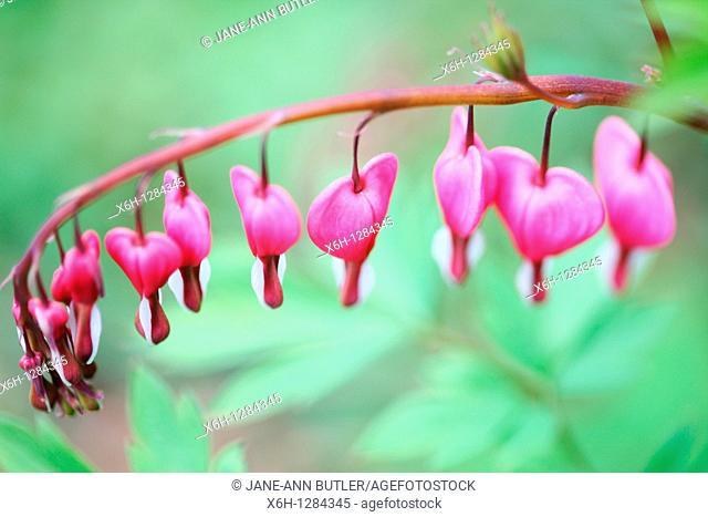 Wonderful Pink Floral Bleeding Heart Stem in Spring Flowering Through Summer