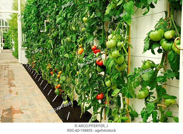Tomatoes in greenhouse, West Dean Garden, West Sussex, England, Solanum lycopersicum