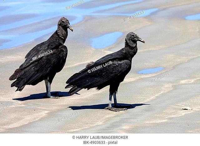 Two Black Vultures (Coragyps atratus) on the beach, Samara, peninsula Nicoya, province Guanacaste, Costa Rica