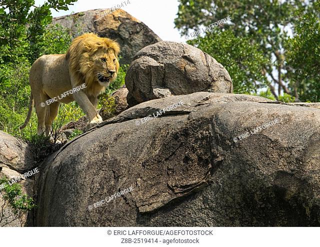 Tanzania, Mara, Serengeti National Park, african lion (panthera leo) walking on a kopje