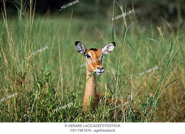 Impala, aepyceros melampus, Female eating in Long Grass, Masai Mara Park in Kenya
