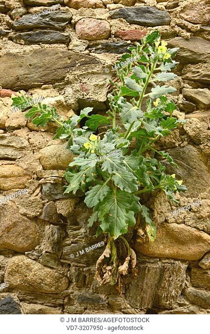 White henbane (Hyoscyamus albus) is a perennial poisonous herb native to Mediterranean Basin. This photo was taken in Alt Emporda, Girona province, Catalonia