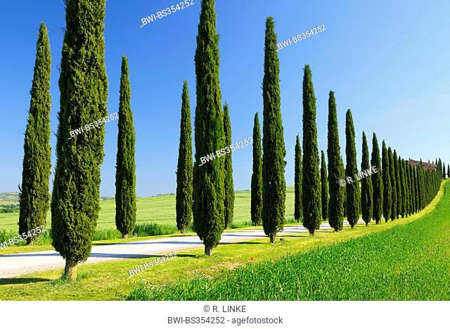 Italian cypress (Cupressus sempervirens), Cypress Trees Avenue in Spring, San Quirico d' Orcia, Val d' Orcia, Italy, Tuscany