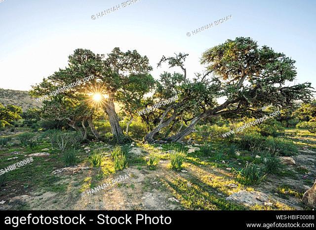 Trees at sunset, Essaouira Province, Morocco
