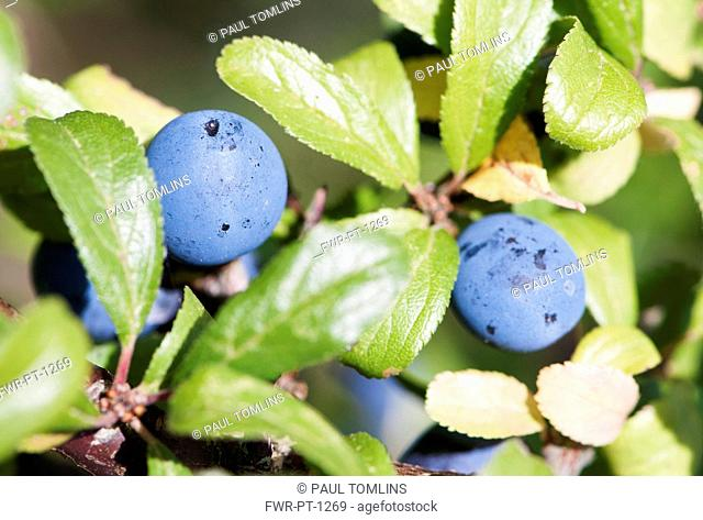 Blackthorn, Sloe, Prunus spinosa, Close up showing the bluew coloured berries