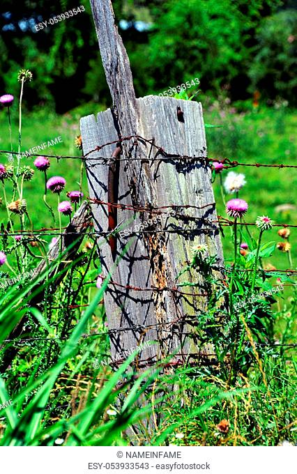 Thick, wooden fence post has extra large rusty nail protruding from its side. Barbed wire fence is attached to post and wildflowers grow around it