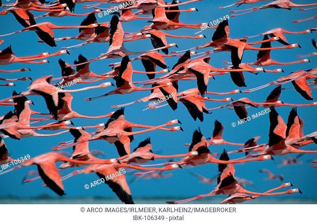 American Flamingos, Yucatan, Mexico / (Phoenicopterus ruber ruber) / side