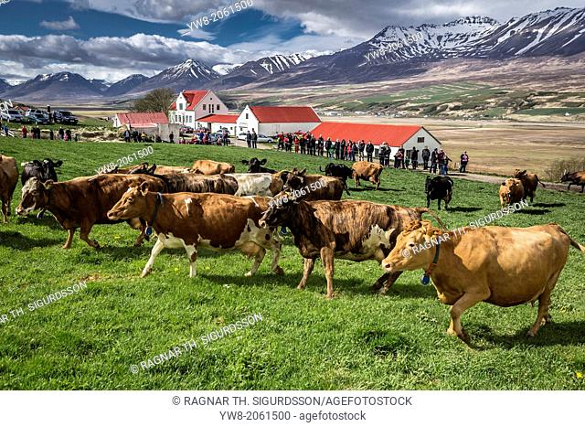 People watch as a dairy cows are set free to roam around after being locked inside, Akureyri, Iceland