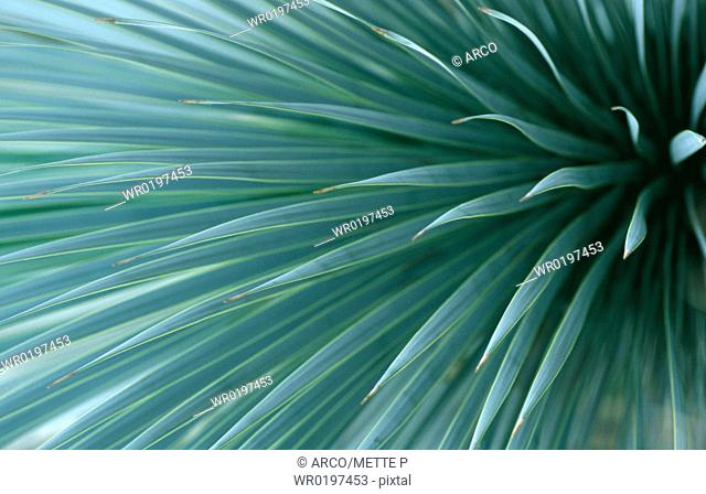 Agave, leaves,Agave, stricta