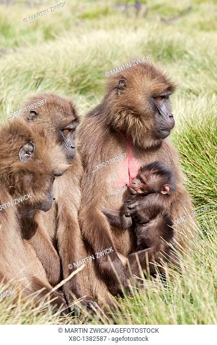 Gelada, Gelada Baboon or Ethiopian Lion Theropithecus gelada in the Simien Mountains National Park in Ethiopia  Geladas are an endemic primate species living in...