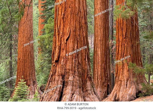 Bachelor and Three Graces Sequoia tress in Mariposa Grove, Yosemite National Park, UNESCO World Heritage Site, California, United States of America