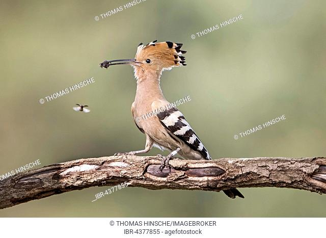 Hoopoe (Upupa epops) on branch with prey in beak, Saxony-Anhalt, Germany