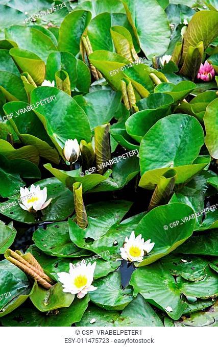Beautiful blooming water lilies
