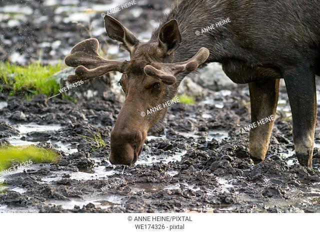 Closeup of moose in mud, Kananasksi Country Alberta