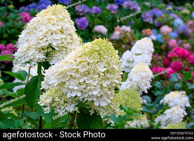 Hydrangea (Hydrangea paniculata), flowers of summer