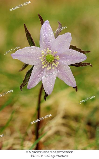 Wood Anemone Anemone trifolia
