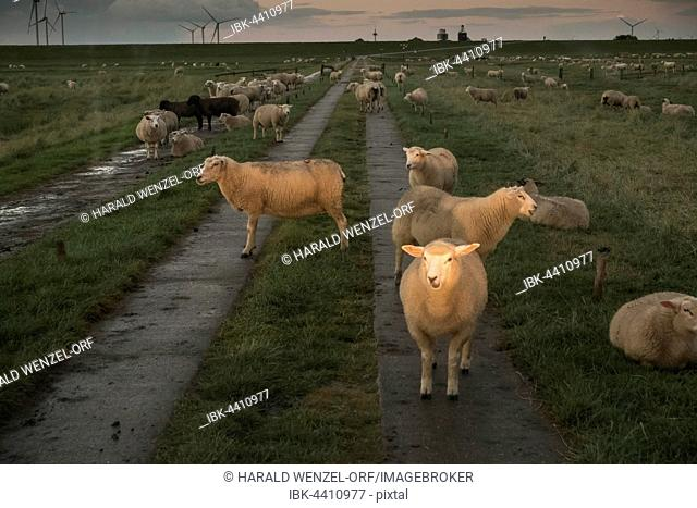 Sheep in a car's headlights, blocking the causeway to the Hamburger Hallig, Reußenköge, Schleswig-Holstein, Germany