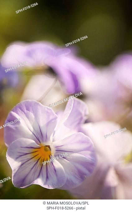 Light lavender blue pansy (Viola x wittrockiana) flower