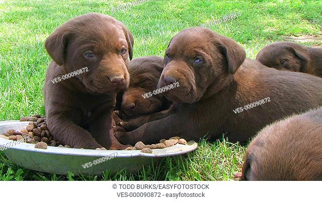 Litter of curious retriever puppies