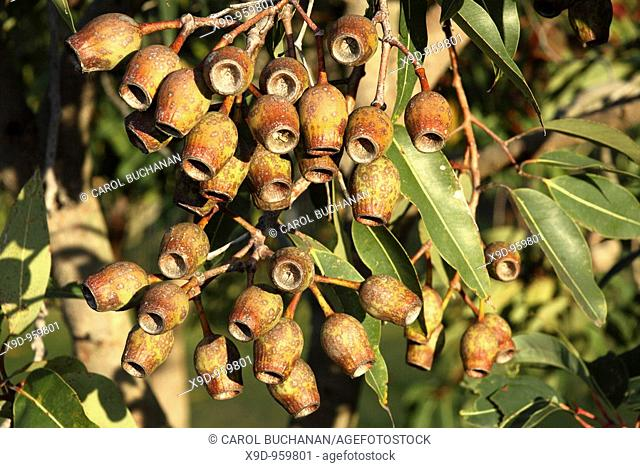 Gumnuts, or seedpots of a flowering eucalyptus tree