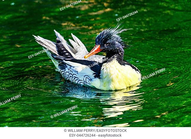 Scaly sided Merganser Chinese Merganser Duck Male Mergus squamatus Swimming Refletion Seattle Washiington