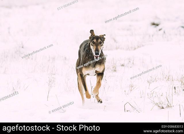 Hunting Sighthound Hortaya Borzaya Dog During Hare-hunting At Winter Day In Snowy Field