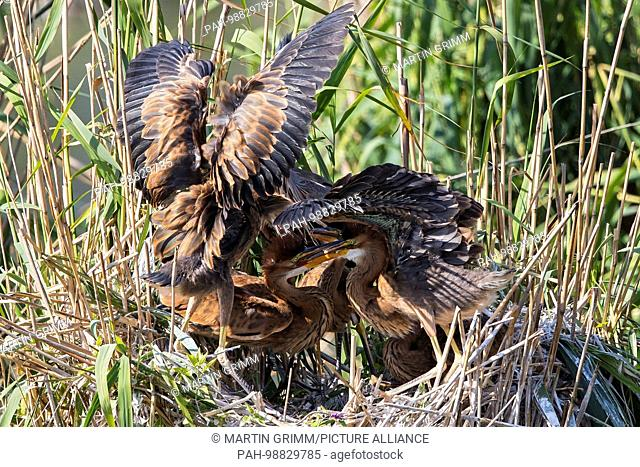 Purple Heron (Ardea purpurea) young birds on nest, Baden-Wuerttemberg, Germany   usage worldwide. - Waghäusel/Baden-Württemberg/Germany
