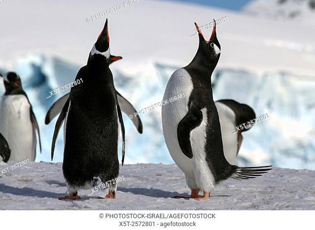 Gentoo penguins (Pygoscelis papua). Gentoo penguins grow to lengths of 70 centimetres and live in large colonies on Antarctic islands