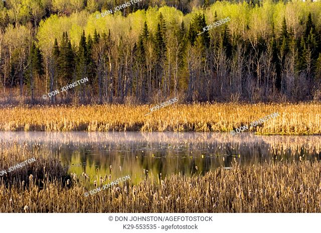 Emerging spring foliage reflected in beaver pond. Whitefish, Ontario, Canada