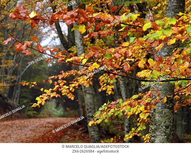 Autumn beech forest (Fagus sylvatica) on a foggy and rainy afternoon at Montseny Natural Park. Barcelona province, Catalonia, Spain