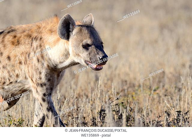 Spotted Hyena (Crocuta crocuta), walking in dry grass, Kgalagadi Transfrontier Park, Northern Cape, South Africa, Africa
