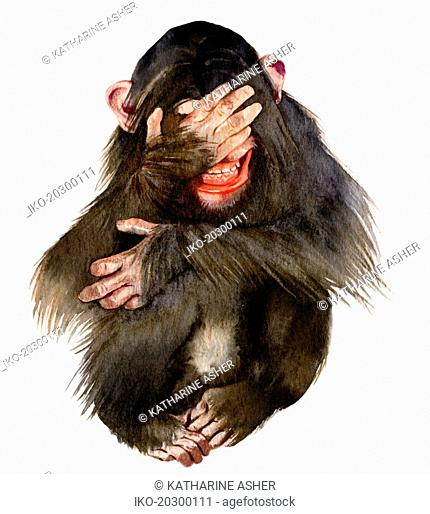 Laughing chimpanzee covering eyes