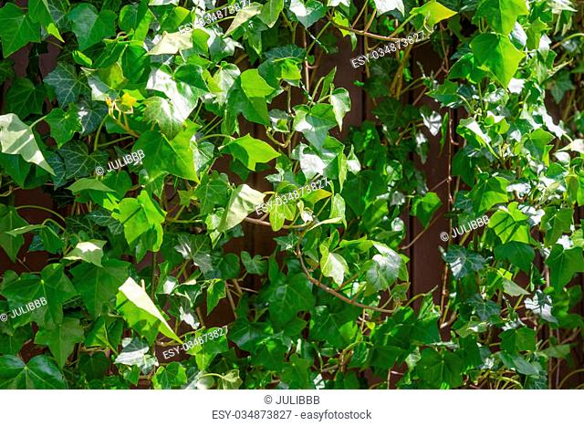 Hedera helix climbing plant in summer garden, perfect green nature background