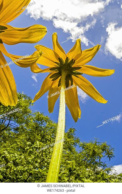 Yellow flowers from underneath against a blue sky