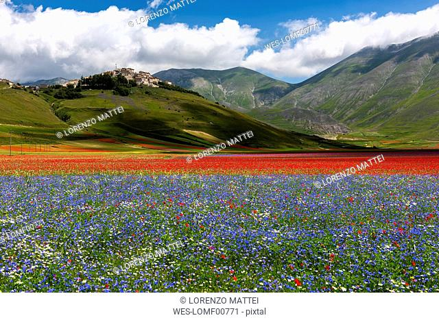 Italy, Umbria, Sibillini National Park, Blooming flowers on Piano Grande di Castelluccio di Norcia