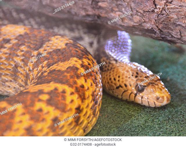 Bull snake (Pituophis catenifer sayi ), News Mexico