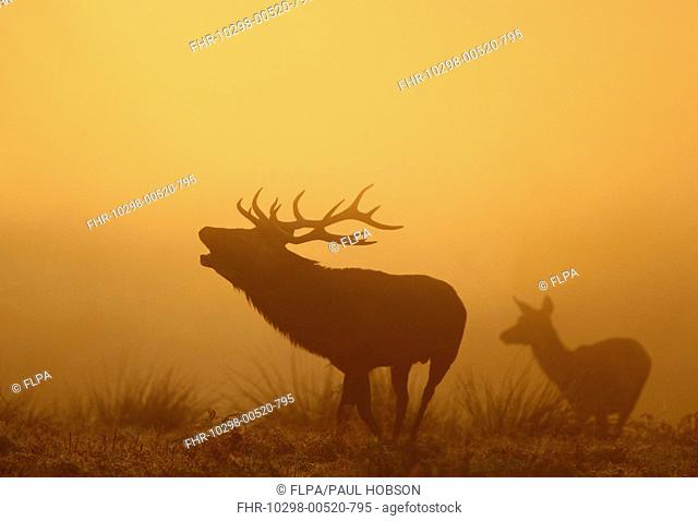Red Deer Cervus elaphus stag and hind, roaring at dawn, during rut, Bradgate Park, Leicestershire, England, autumn
