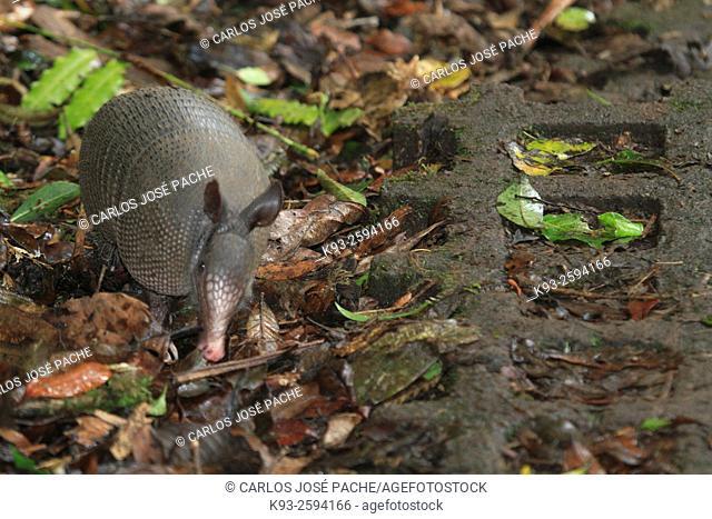 Dasypus novemcinctus, Armadillo de nueve bandas en la Reserva Biologica de Monteverde, costa rica