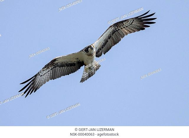 Osprey (Pandion haliaetus) flying by against a blue sky and looking at camera, The Netherlands, Overijssel, Kampen, Ketelmeer