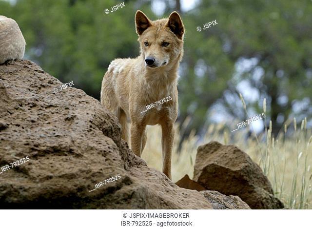 Dingo (Canis lupus dingo), adult, Australia