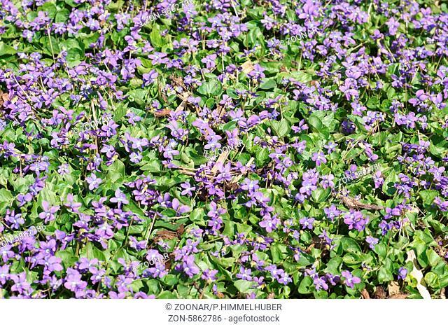 Viola howellii, Howells Veilchen, Wild pansy