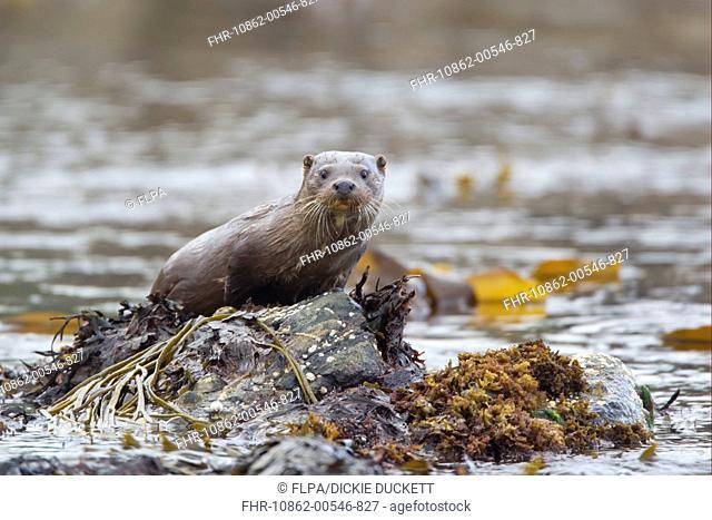 European Otter Lutra lutra juvenile, standing on seaweed covered rock, Shetland Islands, Scotland, june