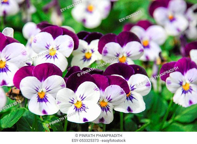 Heartsease (Viola) or Violet. Viola is a genus of flowering plants in the violet family Violaceae.