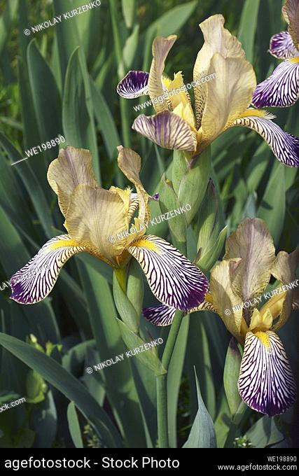 Variegated Sweet iris (Iris [Iris] variegata). Called Hungarian Iris also
