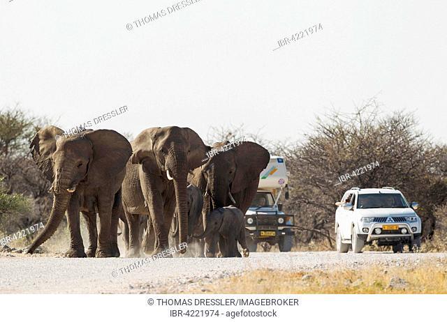 African elephant (Loxodonta africana), breeding herd walking along gravel road to waterhole, tourist vehicles, Etosha National Park, Namibia