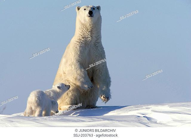 Polar Bear (Ursus maritimus, Thalarctos maritimus). Mother with twin cubs in tundra. Wapusk National Park, Canada
